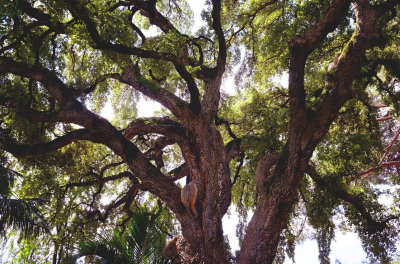 common tree diseases sarasota fl